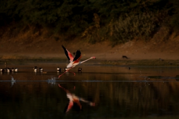 The Weekend Leader - Greater flamingoes spotted for the first time at Himachal's Pong Dam wetlands | Nature | Pong Dam (Himachal Pradesh)