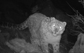 As WWF team traps snow leopard in camera, call to save them becomes shriller