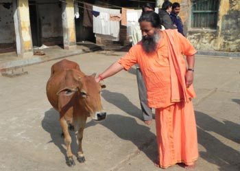 A monk who cares for local varieties of cows and prefers their milk