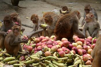 The Weekend Leader - To sterilize 94,334 monkeys, Rs 3.33 crore was paid to 336 people since 2007   Causes   Shimla