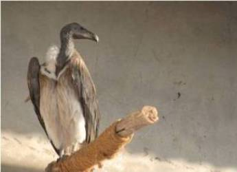 Saving Asia's Vultures from Extinction programme all set to see birds taking wings