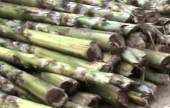 Extracting banana fibre may become an easy affair