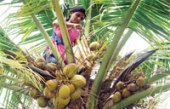 Kerala has 7000 'trained' coconut tree climbers