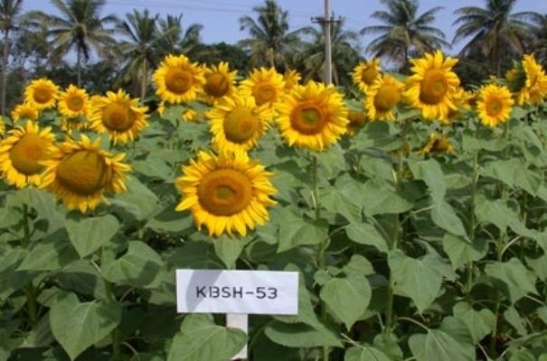 ndian sunflowers from Bengaluru bloom in Uganda