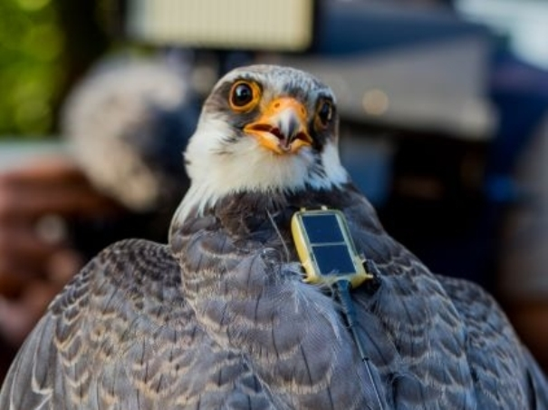 Tagged falcons visit India covering 33K km; then reach Somalia
