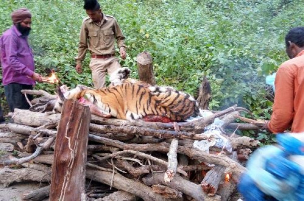 Officer who led ops to kill man-eating tigress speaks out