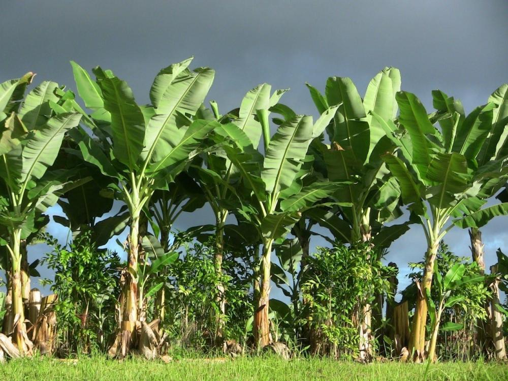 The Weekend Leader - Integrated plant making value added banana products to come up