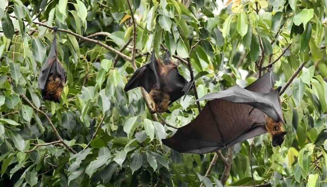 Covid-19 virus has been circulating in bats for decades: Study