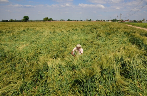 Mammoth exercise in Punjab to procure wheat amid pandemic
