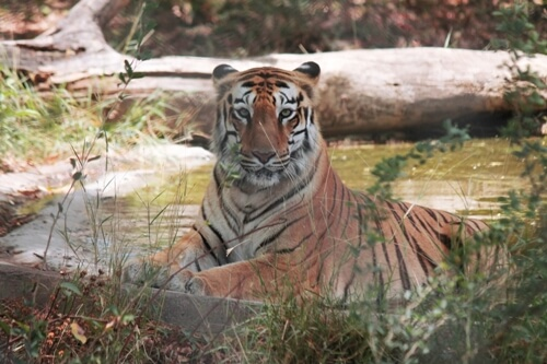 4 tigers, 3 lions test COVID-19 positive at Bronx Zoo