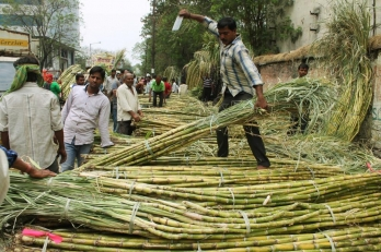 UP making women self-reliant with bud chip method of cane plantation